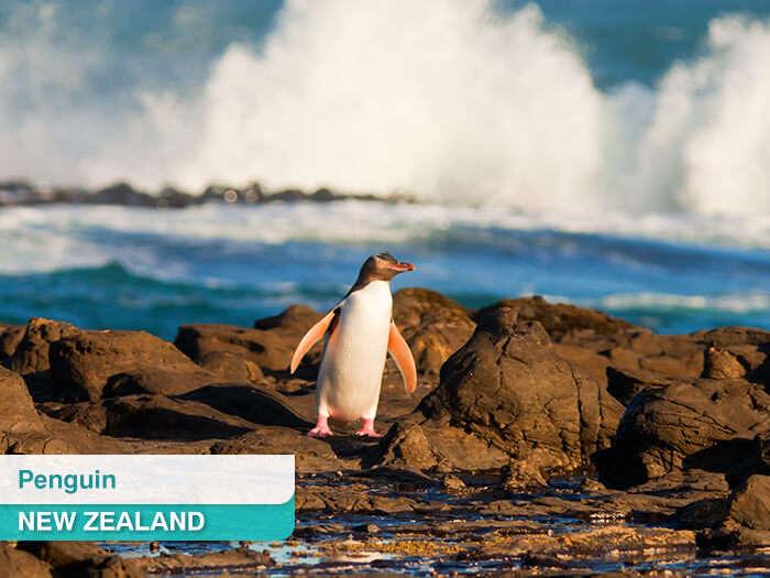Penguin on a seashore in New Zealand