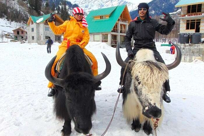 yak riding in winters