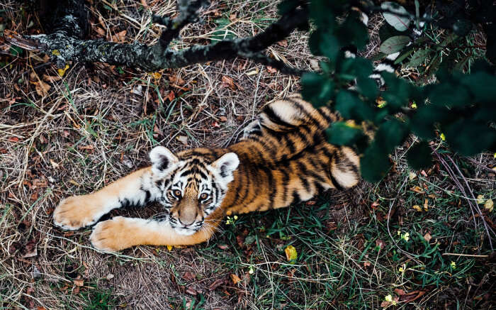Shot of wild tiger cub taken from the topss