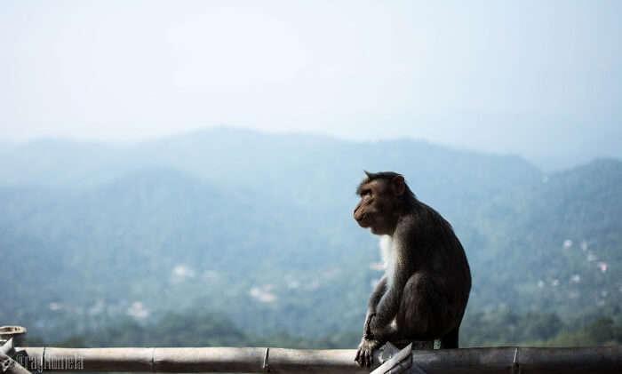 monkey in Thekkady, Kerala