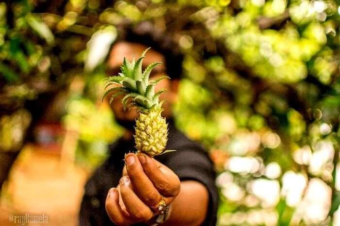 Pineapple fields in Kerala