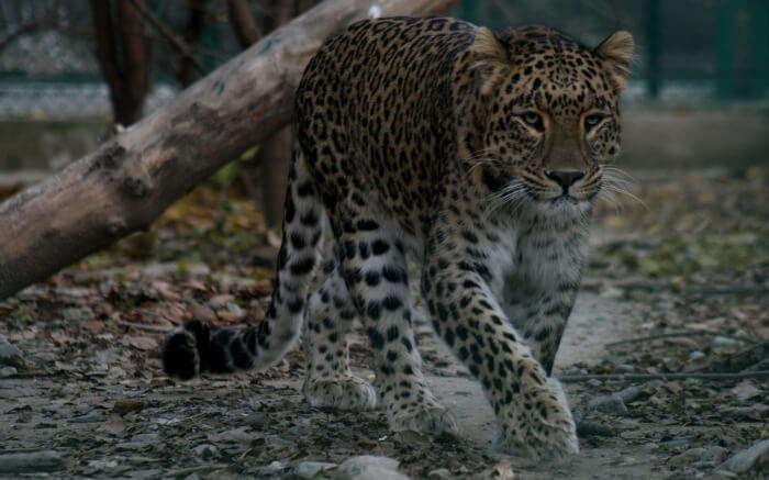 A leopard spotted in Dachigam National Park in Srinagar in Kashmir