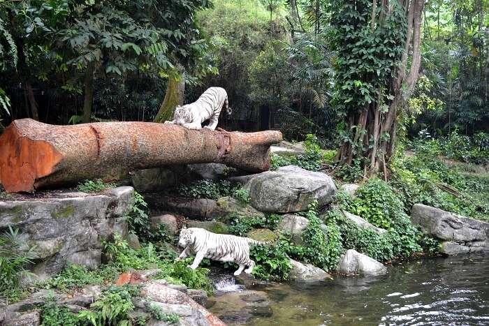 singapore zoo tigers