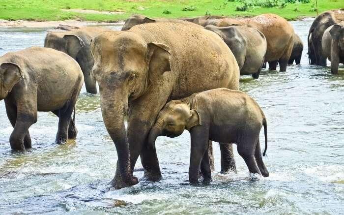 Group of elephants crossing a stream in Pinnawala Elephant Orphanage