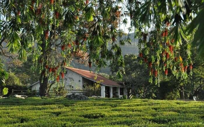 Lush greenery around Darang Tea Estate in Kangra