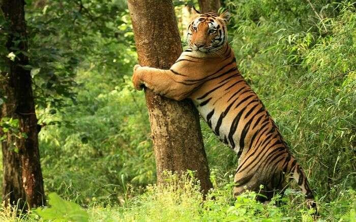 a bengal tiger hugging a tree