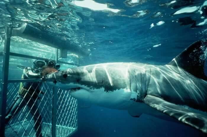 acj-3005-diving-with-shark