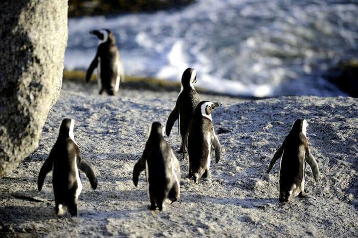 acj-3005-penguin parade