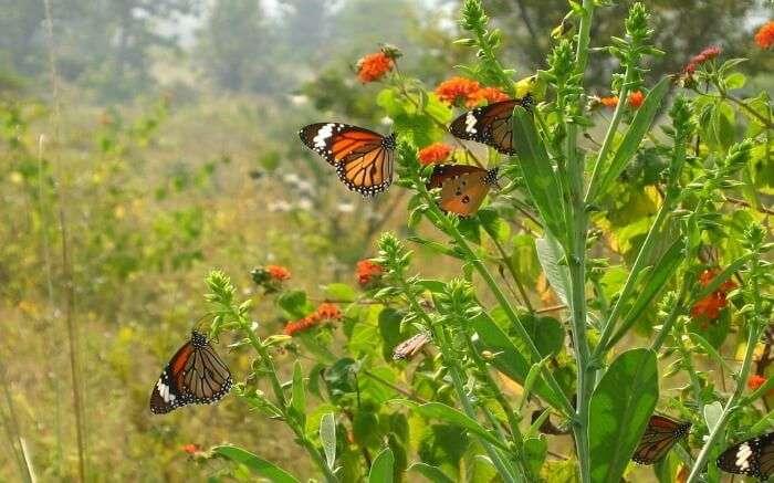 butterflies in Panna National Park