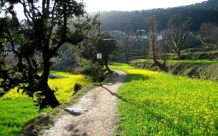 mustard fields in Dharamkot