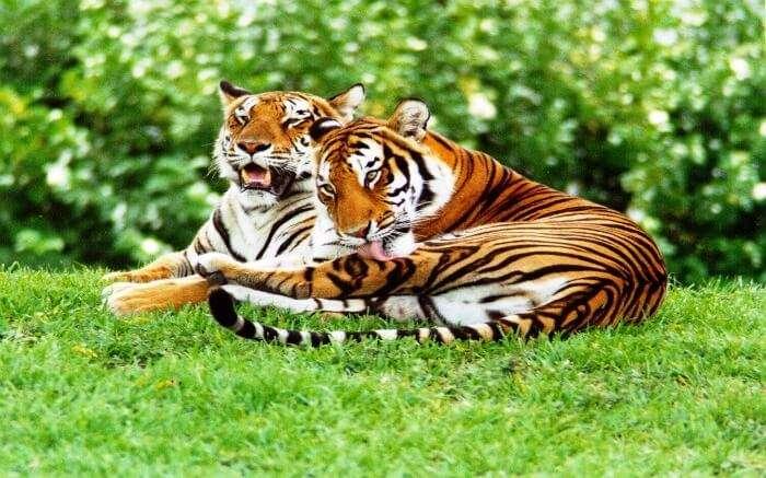 two bengal tigers in Satpura National Park