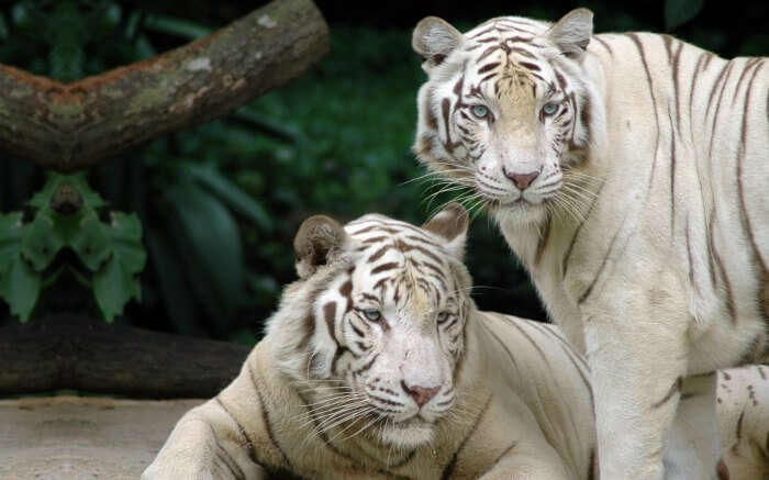 two white tigers in Bandhavgarh National Park