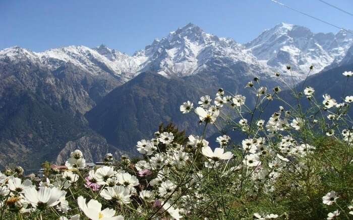 white wildflowers with snow capped Himalayan view in Kalpa
