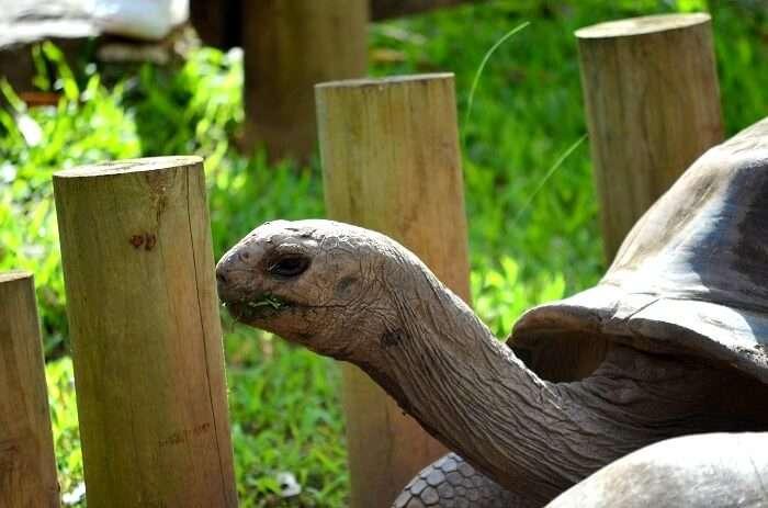 turtles in mauritius