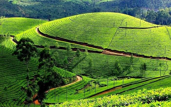 Tea plantations of Ooty