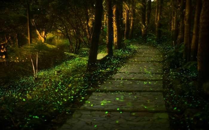 Purushwadi fireflies trail