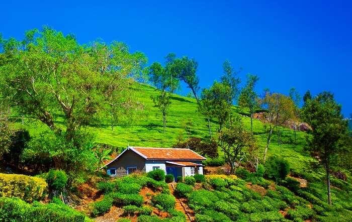 tea plantation in coonoor