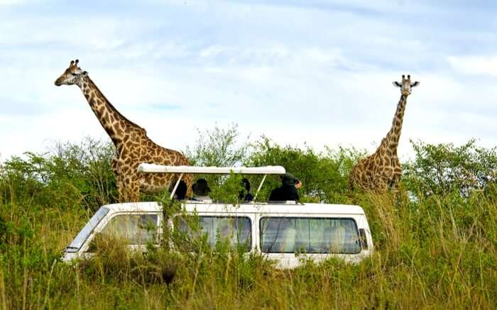 Travelers watching giraffes on a safari in Kenya