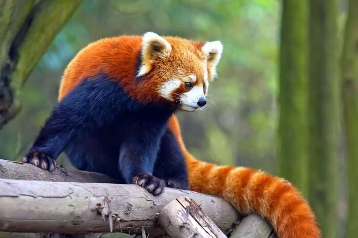 spot red pandas in sikkim