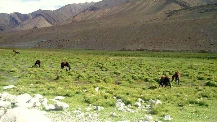 green landscape in ladakh