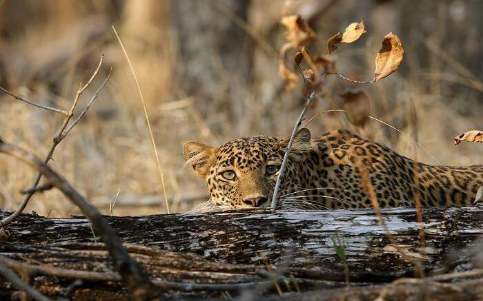 A leopard hiding behind the bush in Pench National Park