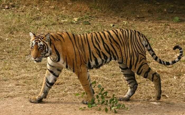 A tiger on a prowl in Rajaji Tiger Reserve in Haridwar