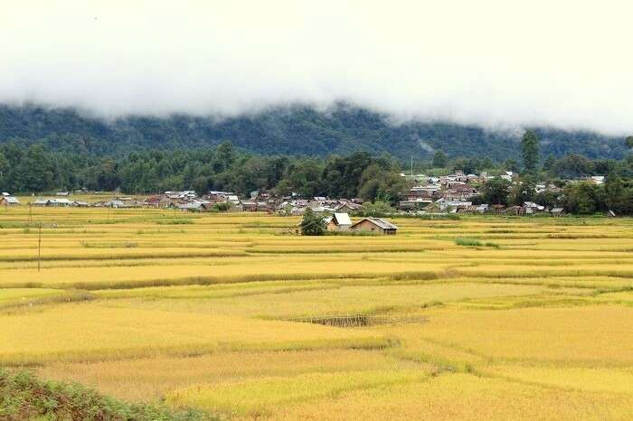 ziro rice fields