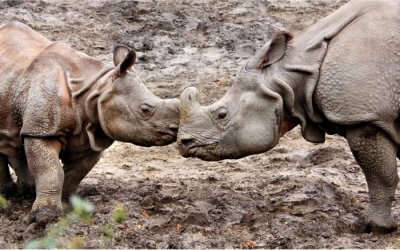 Two rhinos playing in the Kaziranga National Park region