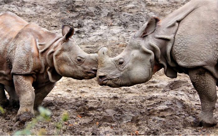 Two rhinos playing in the Kaziranga National Park region