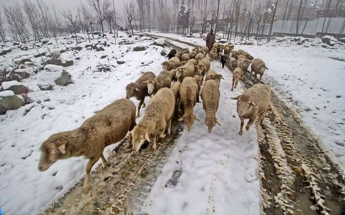 Flock of sheep during winter
