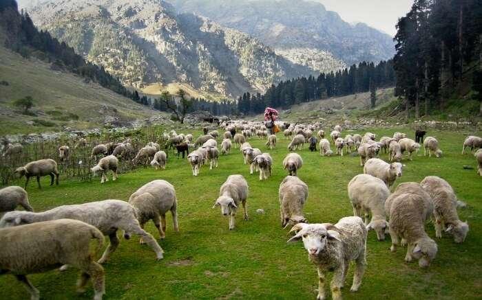 Flock of sheeps in Kashmir
