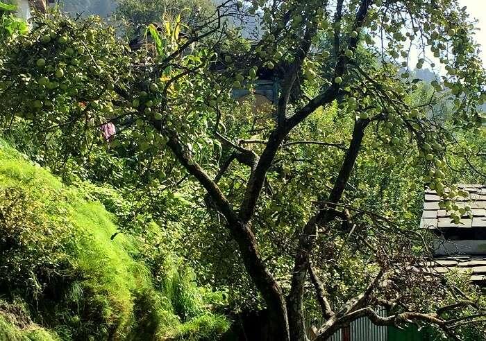 apple trees in himachal