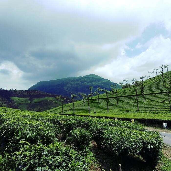 tea plantation rajamalai kerala