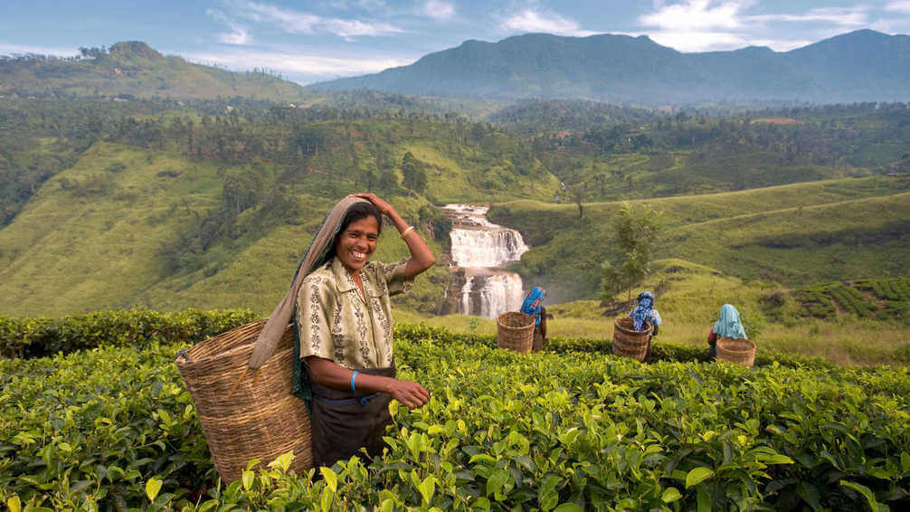Local women working in tea plantation in Sri Lanka
