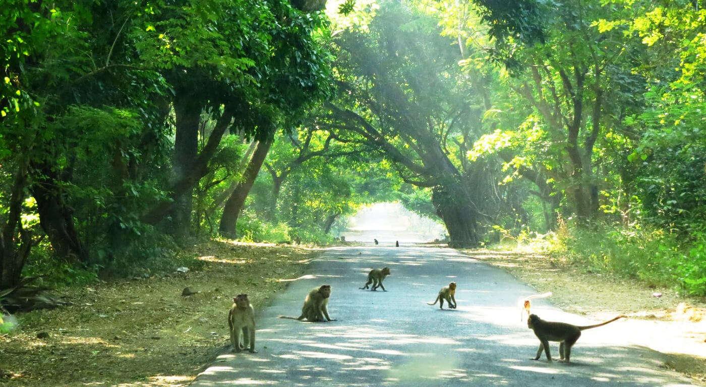 monkeys in Sanjay Gandhi National Park