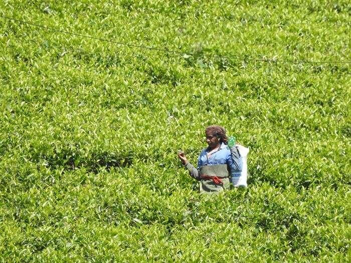 tea garden munnar