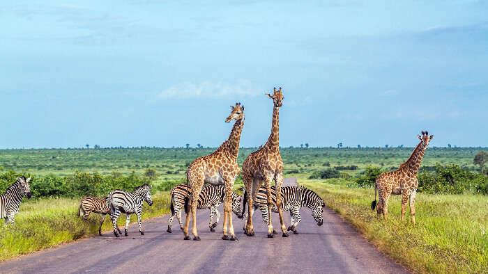 Ziraffe in South Africa