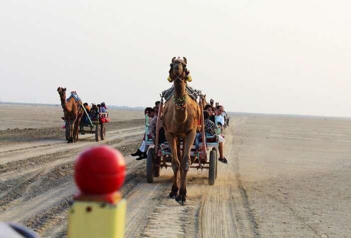 Camel ride at Rann of Kutch