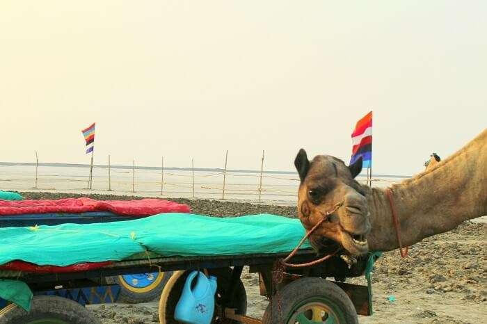 Camels at Rann of Kutch