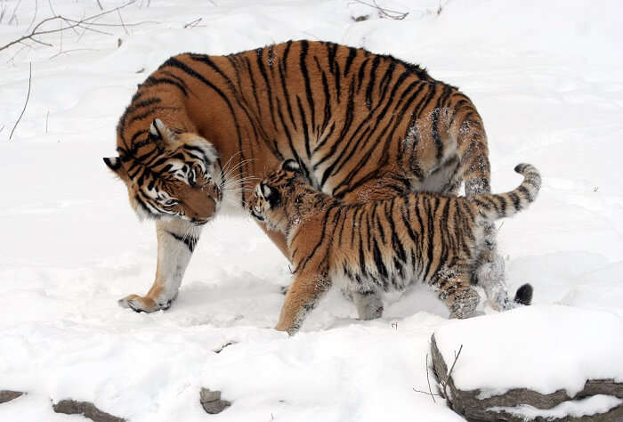 Amur Tigers Russian wildlife