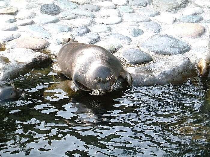 Freshwater Seals wildlife in Russia