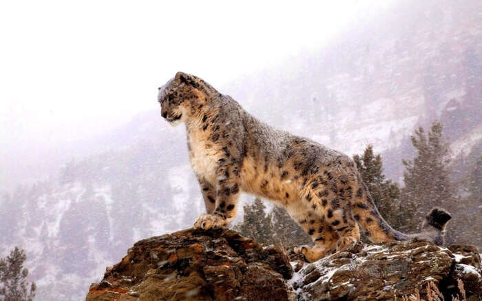 A snow leopard standing atop a cliff in Ladakh