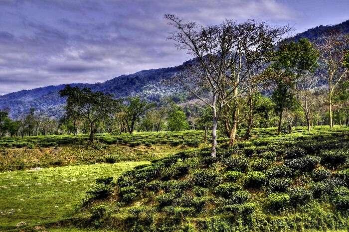 famous tea garden estate in assam