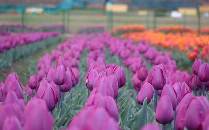 acj-2803-kashmir-tulip-garden (1)