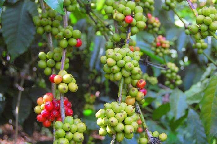 Take a walk in a coffee plantation coorg
