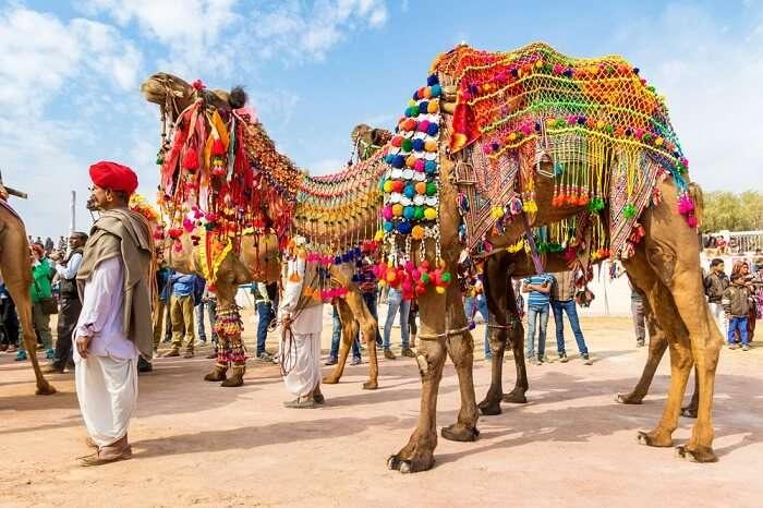 decorated camel in bikaner