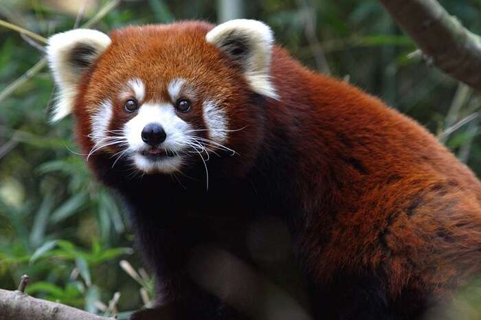 red panda in the park