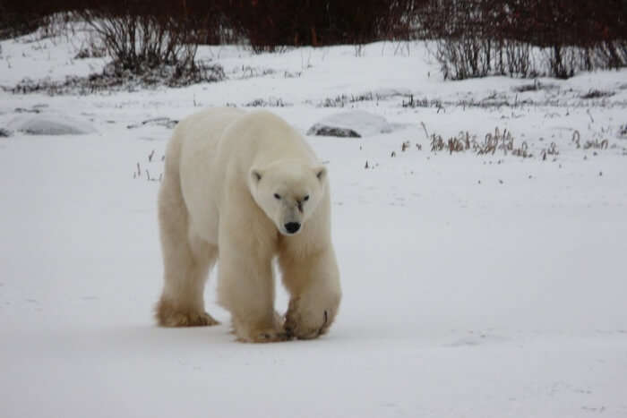 Canada Polar Bear Bear Arctic Churchill Wildlife