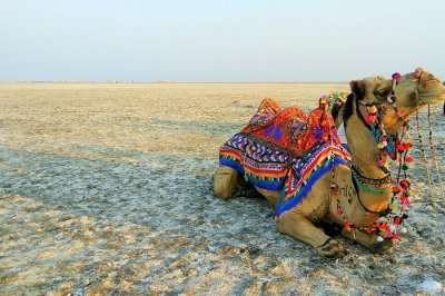 Camel Safari at Great Rann of Kutch