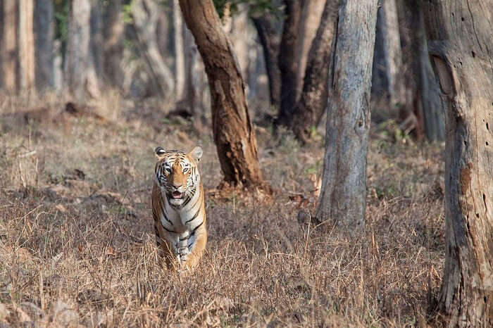 Maya Tiger of Tadoba